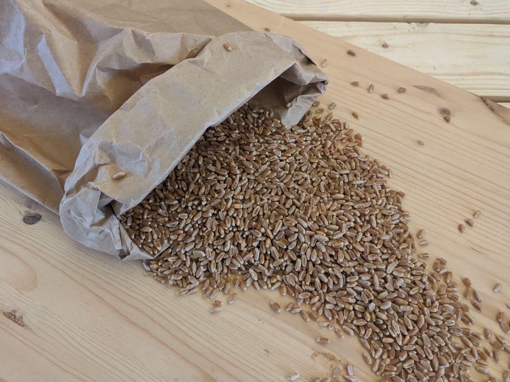 Weizen - loses Korn